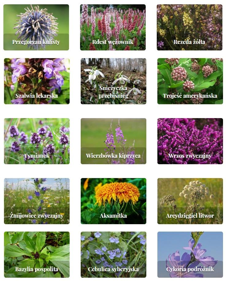rośliny zielne i krzewinki 4