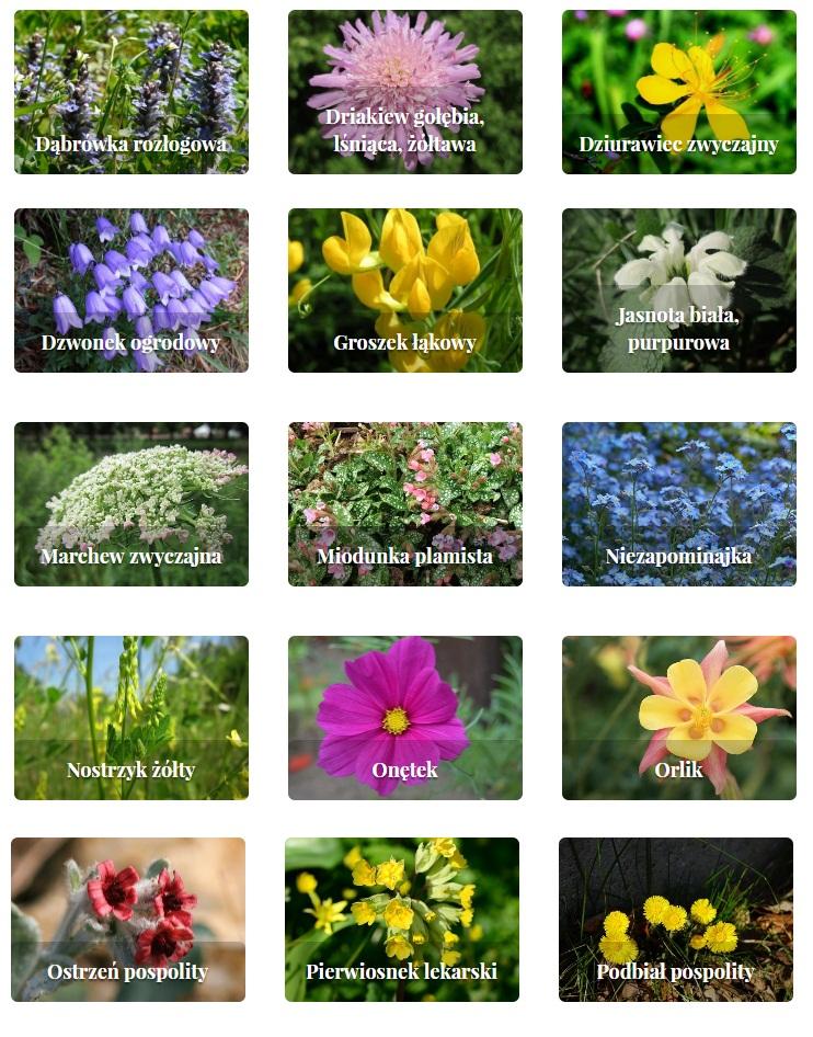 rośliny zielne i krzewinki 5